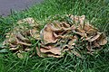 Meripilus giganteus 85696674.jpg