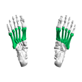 Metatarsal bones02 - inferior view.png