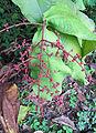 Miconia impetiolaris, fruit (10040845885).jpg