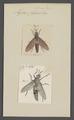 Midas - Print - Iconographia Zoologica - Special Collections University of Amsterdam - UBAINV0274 038 07 0030.tif