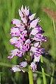 Military orchid - Orchis militaris - panoramio (9).jpg