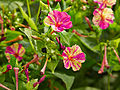 Mirabilis jalapa 'bicolor'-IMG 9209.jpg