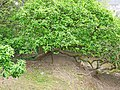 Mispelbaum am Schlangenweg.jpg