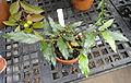 Mitriostigma axillare - Talcott Greenhouse - Mount Holyoke College - DSC04490.JPG