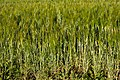 Mixed intercropping of oat and rye 2.jpg