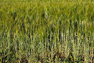 Intercropping - Image: Mixed intercropping of oat and rye 2