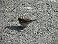 Moineau domestique mâle (Passer domesticus) (11).jpg