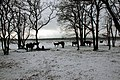 Mondaymorning 2 Februari 2015, Oud Reemst with cows in the snow, just Black and White - panoramio.jpg