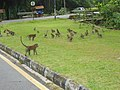 Monkeys- Penang Botanical Gardens - panoramio.jpg