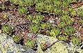 Mont Chetif - plants.jpg