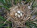 Moorhen Nest 02-06-11 (5790747105).jpg