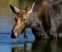 Moose in Grand Teton National Park 3 (8007698498).jpg