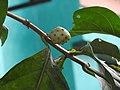Morinda citrifolia-3-papanasam-tirunelveli-India.jpg