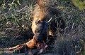 Mosetlha, Madikwe Game Reserve, South Africa (48012194503).jpg