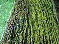 Mosses on the trees 3.JPG