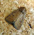 Mottled Rustic. Caradrina morpheus. - Flickr - gailhampshire (1).jpg