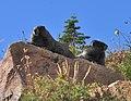 Mount Rainier - September 2017 - Hoary marmots 43.jpg