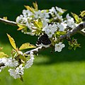 Mourning cloak nectaring on cherry blossoms 3.jpg