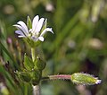 Mouse-ear Chickweed (49194519623).jpg