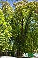 Muhlhausen's chestnut-tree1.jpg