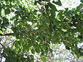 Mulberry Tree4.JPG