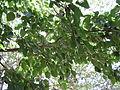 Mulberry Tree4.JPG