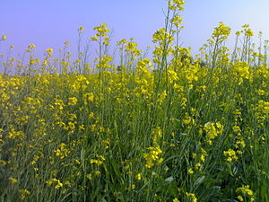 Mustard 2PM.jpg