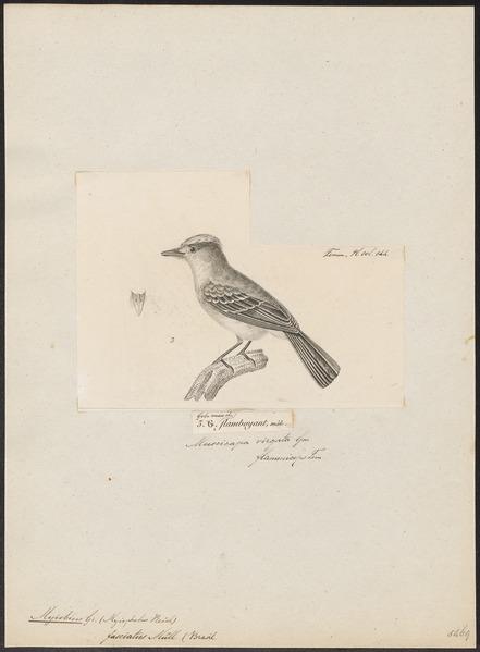 File:Myiobius fasciatus - 1700-1880 - Print - Iconographia Zoologica - Special Collections University of Amsterdam - UBA01 IZ16500337.tif