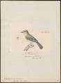 Myiobius fasciatus - 1700-1880 - Print - Iconographia Zoologica - Special Collections University of Amsterdam - UBA01 IZ16500337.tif