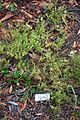 Myoporum parvifolium - UC Santa Cruz Arboretum - DSC07387.JPG