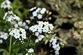 Myosotis palustris 0zz.jpg