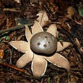 Salt-shaker earthstar