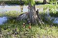 NASA Kennedy Wildlife - Sandhill crane with two colts.jpg