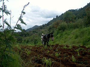 Nahua peoples - Nahua man of Morelos ploughing a bean field by mule
