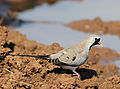 Namaqua dove, Oena capensis, at Mapungubwe National Park, Limpopo, South Africa (18089228335).jpg