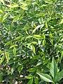 Nandina domestica Heavenly Bamboo 0zz.jpg