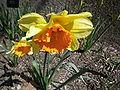 Narcissus 'Fortissimo'.jpg