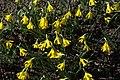 Narcissus asturiensis GotBot 2015 001.jpg