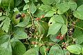 National colection of Rubus, Poznan, Dendrological Garden (Rubus pseudopersicinus).JPG