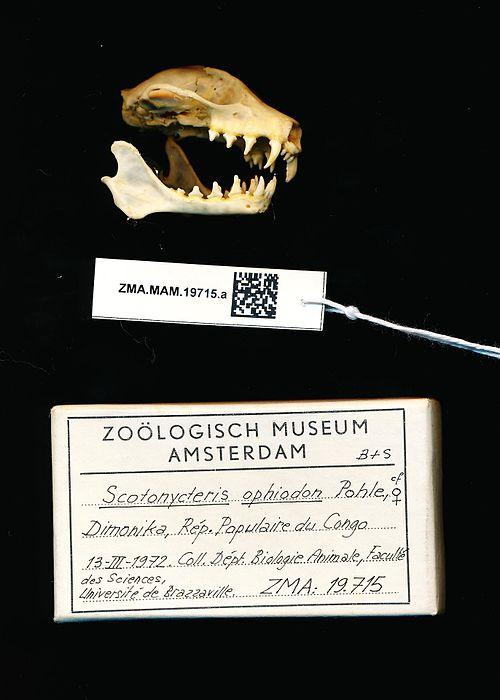 500px naturalis biodiversity center   zma.mam.19715.a lat   scotonycteris ophiodon   skull