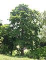 Nauclea orientalis 3.jpg