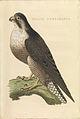 Nederlandsche vogelen (KB) - Falco peregrinus (438b).jpg