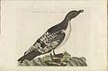 Nederlandsche vogelen (KB) - Puffinus puffinus (368b).jpg