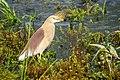Nepali Pond Heron (आसकोटे बकुल्ला) 1.jpg
