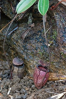 Nepenthes argentii ASR 062007 mt guitingguiting sibuyan.jpg