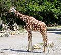 Netzgiraffe (Giraffa camelopardalis reticulata) Tierpark Hellabrunn-4.jpg