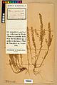 Neuchâtel Herbarium - Alyssum alyssoides - NEU000021953.jpg