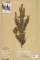 Neuchâtel Herbarium - Pinus sylvestris - NEU000003774.tif