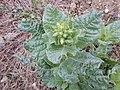 Nicotiana rustica sl8.jpg