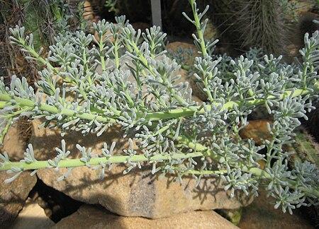 Nolana crassulifolia 01.jpg
